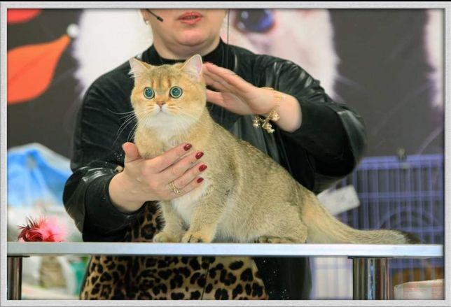 Британские кошки драгоценных окрасов