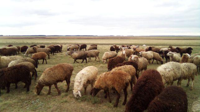 Продам овец оптом, в количестве 110 голов