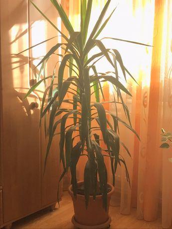 Planta apartament , Yuca