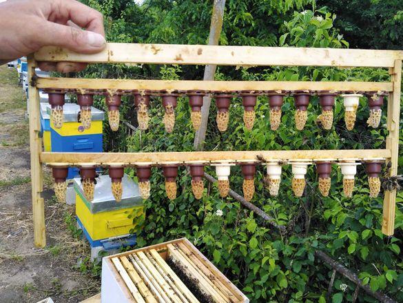 Пчелни майки от лицензиран производител