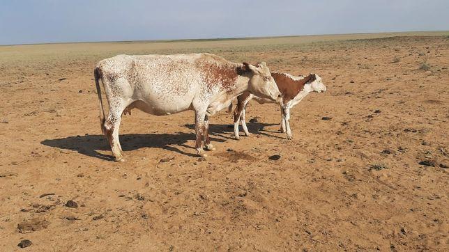 Продам срочно скот