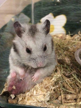 Hamsteri sirieni, siberieni, rusesti, pitici,porcusori de Guineea,Degu