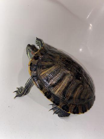 Черепаха аквариум