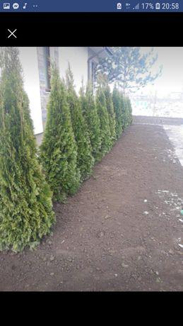Tuia ,brazi ,mesteacăn .(plante ornamentale)