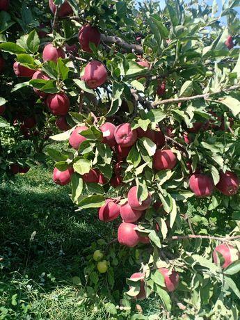 Яблоки золотое превосходное и американка