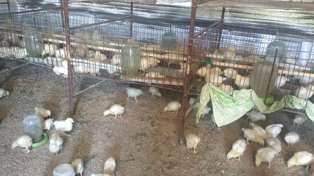Продам цыплята несушки