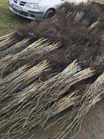 облагородени и необлогородени орехови дръвчета