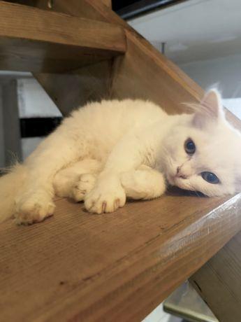 Pui de pisica persani
