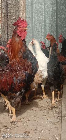 Курицы и Петухи.