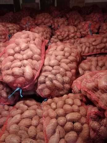 Cartofi roz mari pentru consum 60 de bani