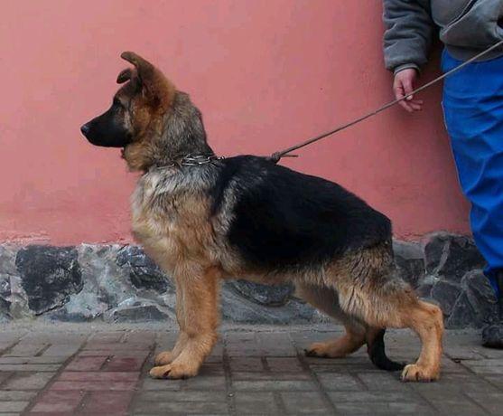 Canisa vom Quelleweg oferă căței ciobănesc german cu pedigree