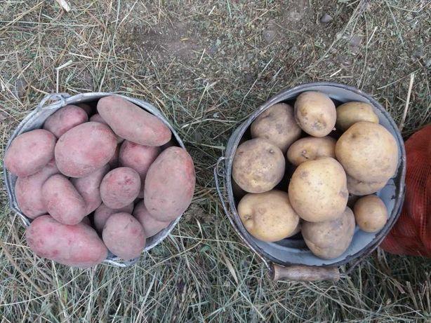 Продам  Кугалинский картофель