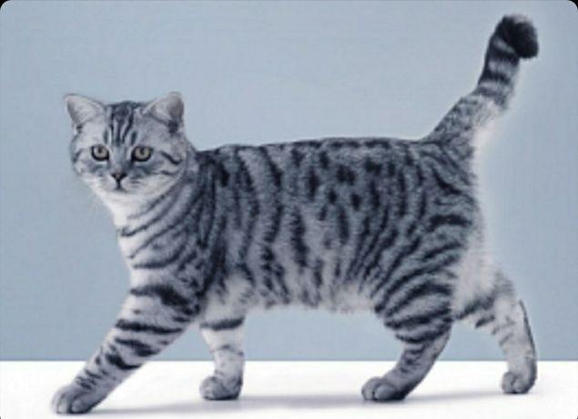 Пропал кот Скоттиш-страйт