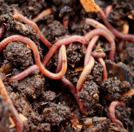 Земляные черви крупные