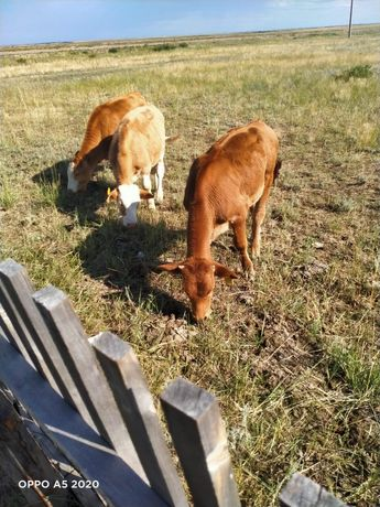 Продам телят 4-5 месяца, от крупных коров