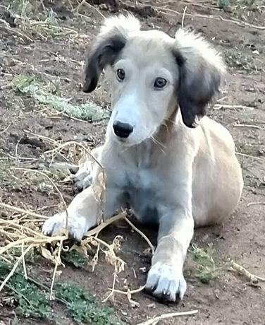 Продам собака тазы