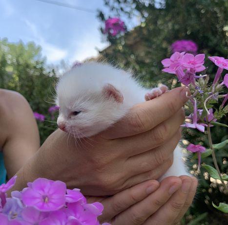 Котенок чисто белый, мальчик