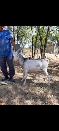 Чистокровный козел(теке), всего 5 шт.Торг есть