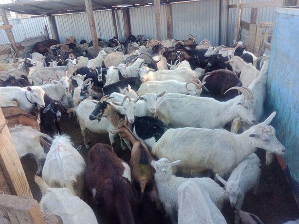 Дойные  козы оптом и в розницу