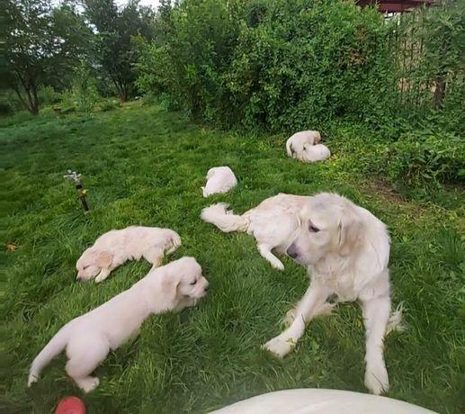 Продам щенков голден ретривера мальчики и девочки