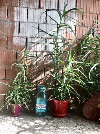 SuperOferta Aloe planta ghiveci 3-5ani (la 5buc -50%)