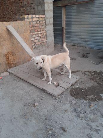 Собака сторожевая дворняга