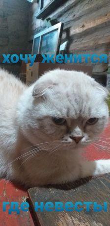 Красавец кот скоттиш фолд. Вязка.