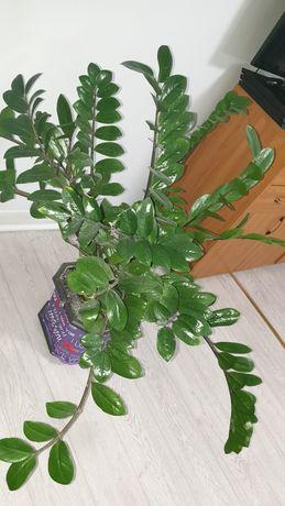 Долларовое дерево Замиокулькас и педилантус