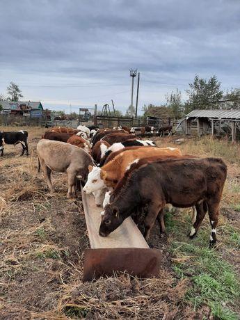 Продам коров 30 голов (есть с телятами)