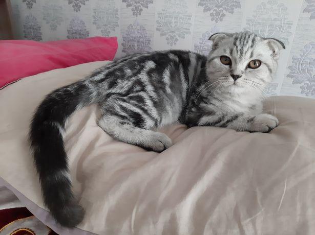 Котёнок кот Британский Вислоухий Мраморный серебристый окрас