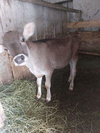 тёлочка от хороший дойной коровы 2 месяца