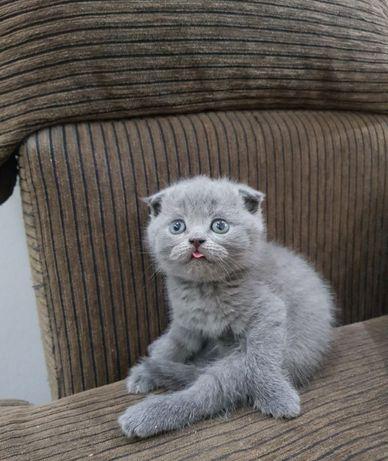 шотландский котенок, с документами !