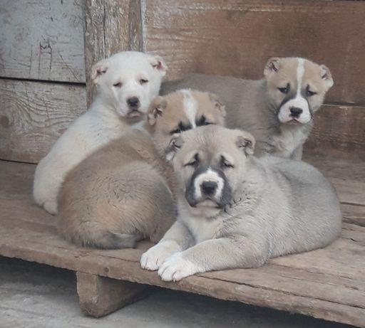 Ciobanesc de Asia Centrala cu pedigree-livrare si in tara