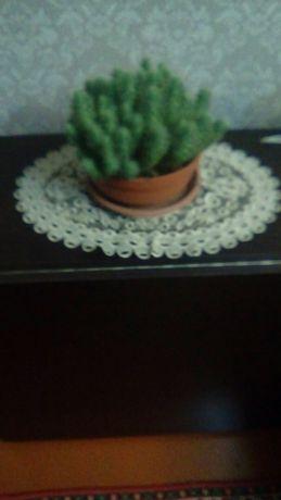 Комнатное растение - кактус