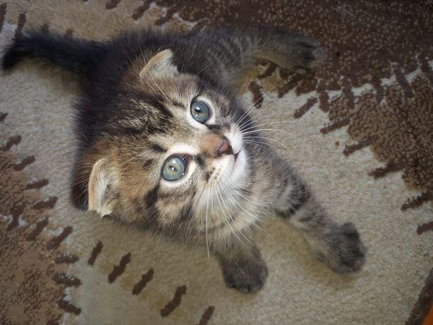 Пропал вислоухий котенок