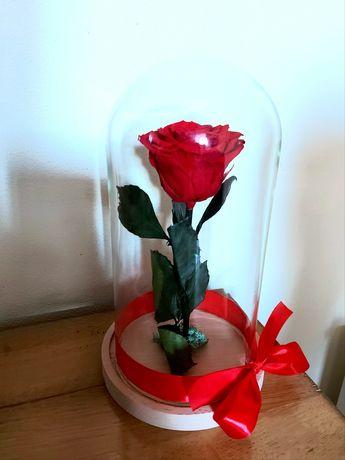 Trandafir criogenat în cupola de sticla
