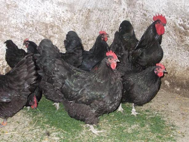 Australorp familie 1+2 negru