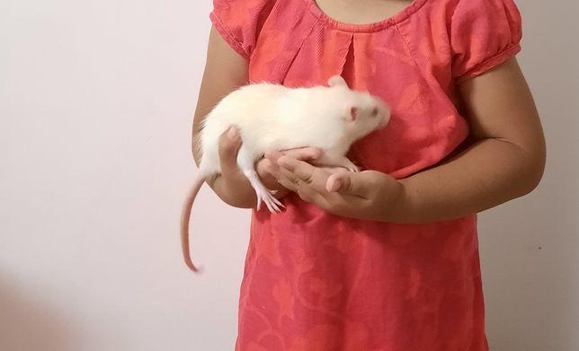 Кошки молодые и крыса