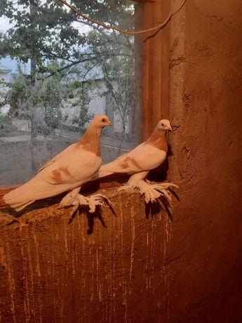 Продам голубей..