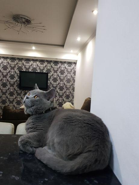 Вязка шикарного кота, с родословной, привитого!
