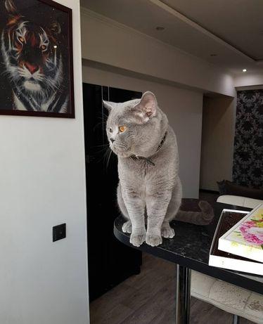 Вязка опытного кота, с родословной!