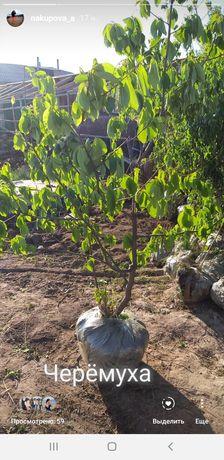 Продаём супер саженцы деревьев