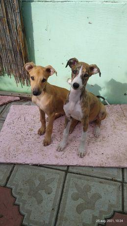 Căței Ogar Englez/Greyhound 3 luni și jumătate