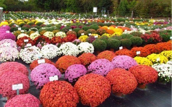 Хризантемы шаровидные мультифлора