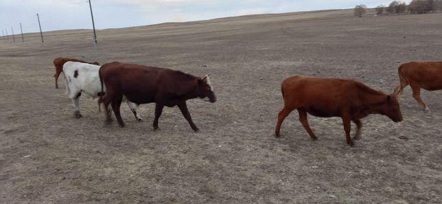 Продается бычки и телки