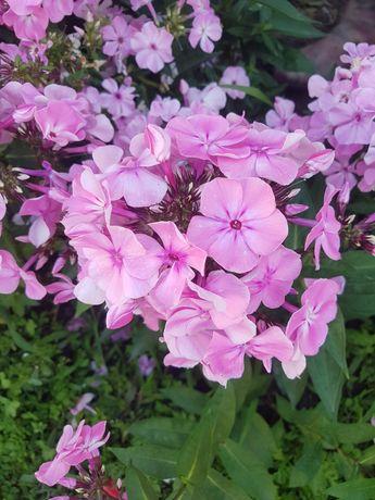 Крупноцветковые флоксы