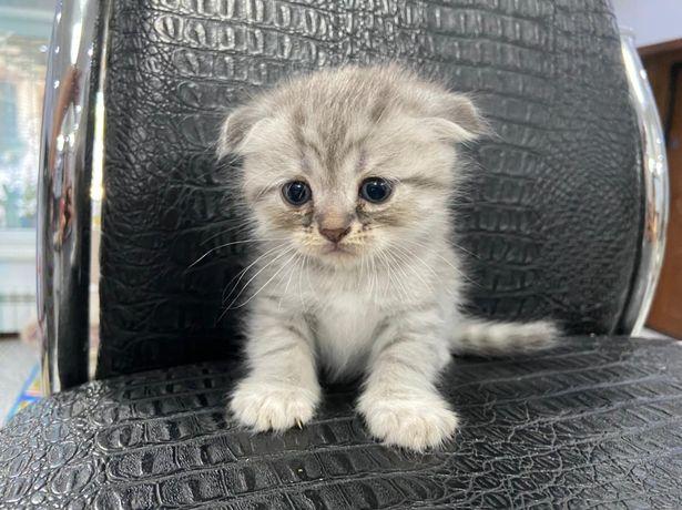 Котенок вислоухий! Мальчик ждёт своего хозяина. Очень ласковый и нежны