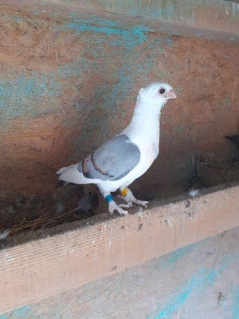 Porumbel satinet puii