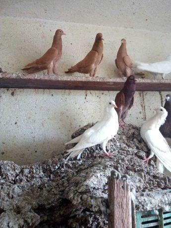 Гълъби- бърненски мини гушести и кариери