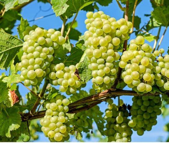 Struguri pt. Vin din Vrancea .Livrare la domiciliu